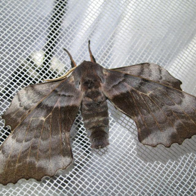 laothoe-populi -réserve intégrale du Lauvitel - Parc national des Ecrins