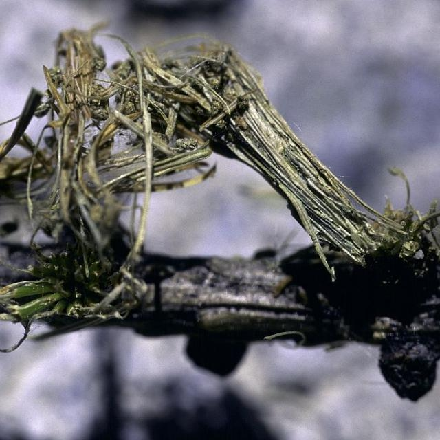 attaque mélézin par la tordeuse © Robert Chevalier - Parc national des Écrins