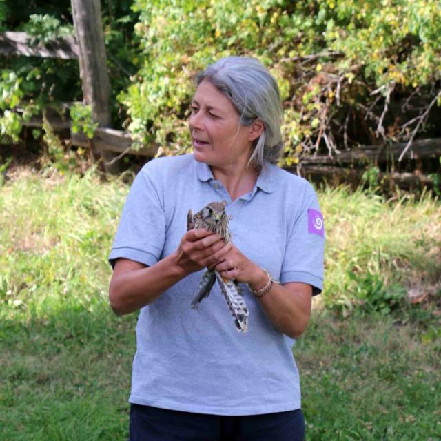 jeune faucon au centre de soin relâché au Casset en août 2016 par Michel Philsel et Hélène Quellier © Parc national des Ecrins