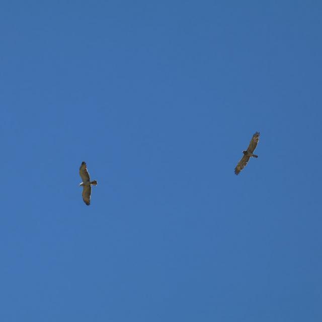 Deux circaètes - Comptage migrateurs - Embrunais - août 2016 © Laurent Rippet - Parc national des Ecrins