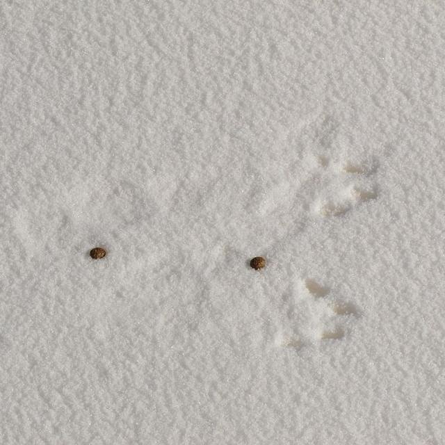 Traces et fèces de lièvre variable © M. Bouche - Parc national des Ecrins