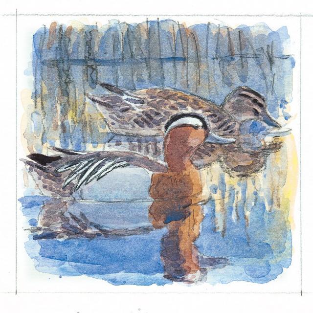 Sarcelle d'été - oeuvre de Robert Greenhalf -  Atlas des vertébrés - Les Oiseaux -  Parc national des Ecrins