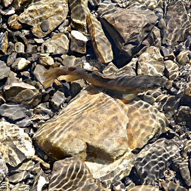 Truite fario - © JP Telmon - Parc national des Écrins