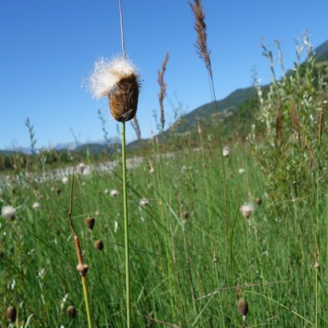 Petite massette en fleur - © C.Dentant - Parc national des Ecrins