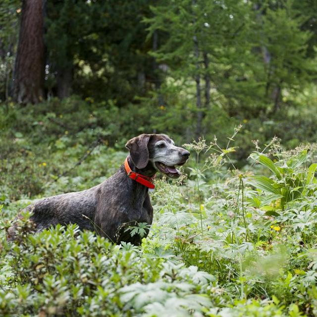 Comptage au chien, vallon du Fournel 2010 - © JP Telmon - Parc national des Écrins