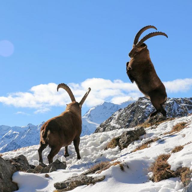 Bouquetin des Alpes © H. Quellier, PNE.