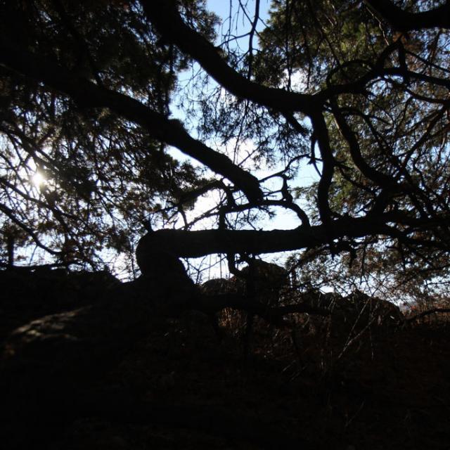 Dans les pins pour collecter des pelotes de réjection de hibou moyen-duc. Photo Trycia - stage 3ème au Parc national des Ecrins dans les Champsaur - dec 2017