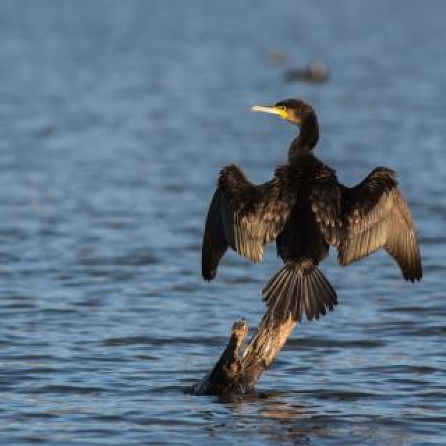 Grand cormoran - © P.Saulay - Parc national des Écrins