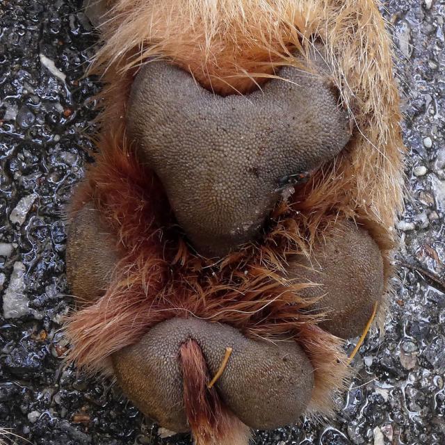 coussinets jointifs, caractéristiques du loup -© photo JP Telmon - Parc national des Écrins