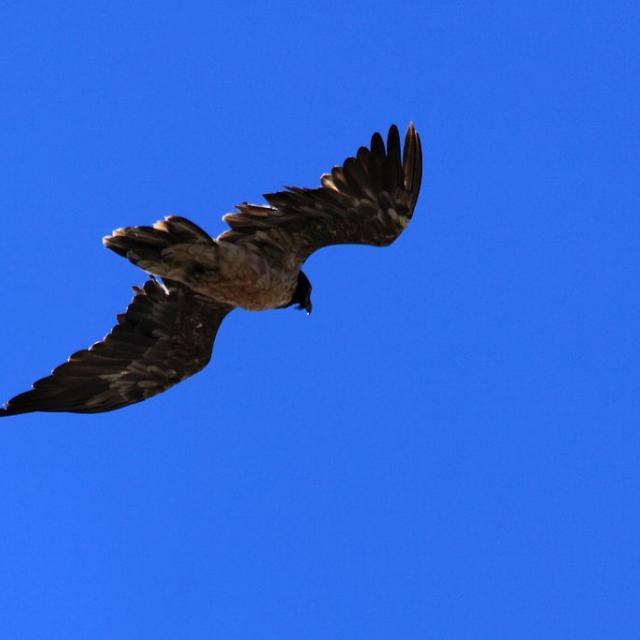 gypaète en vol dans les Cerces, en 2016 © M.Corail - Parc national des Écrins