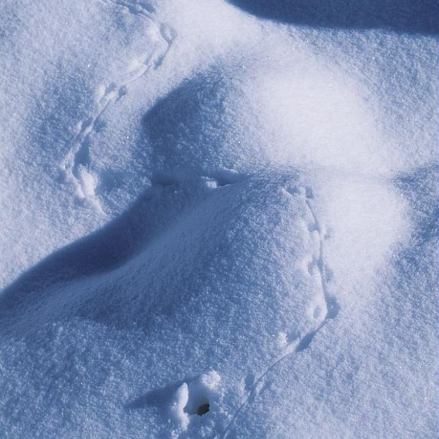 Trace micromammifère - © M.Coulon - Parc national des Écrins