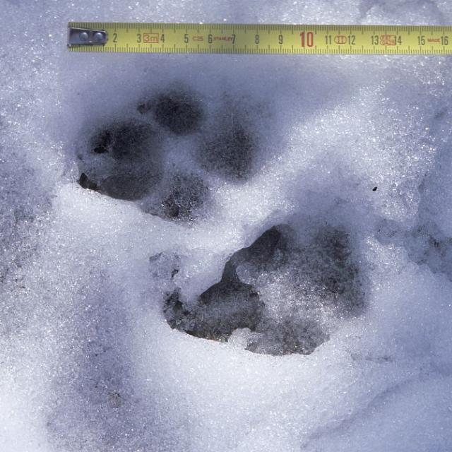 trace loup © B.Thomas - Parc national des Écrins