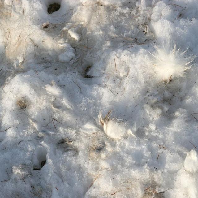Poils lièvre variable - © M.Corail - Parc national des Ecrins