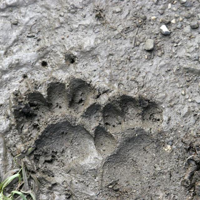 blaireau trace -  © M.Corail - Parc national des Ecrins