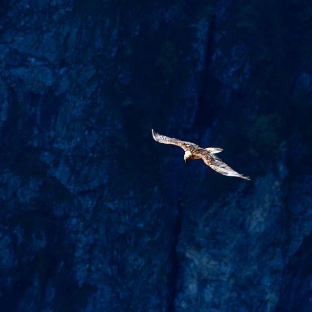 Gypaète du trio reproducteur de Mizoën - mai 2018 - © T.Maillet - Parc national des Ecrins