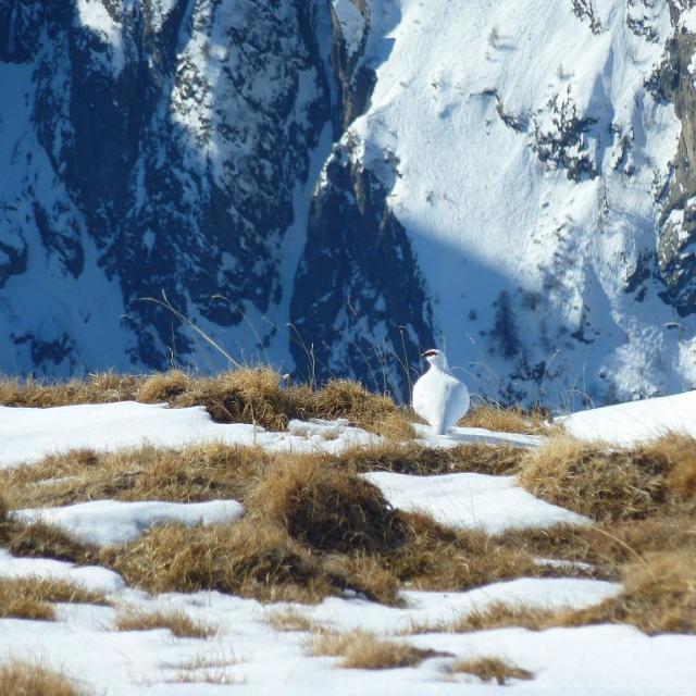 lagopède - © Cyril Coursier - Parc national des Ecrins