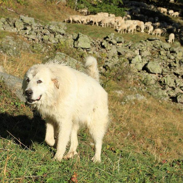 chien protection - patou - © JP Telmon - Parc national des Ecrins