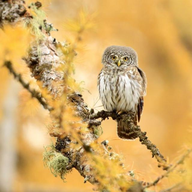 Chevêchette - © M.Corail - Parc national des Écrins