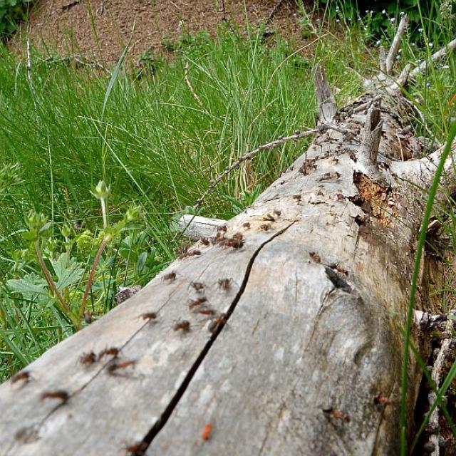 Fourmis et fourmilière © M.Coulon - Parc national des Écrins