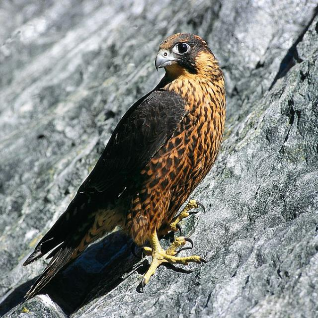 faucon pèlerin © D.Fiat - Parc national des Ecrins