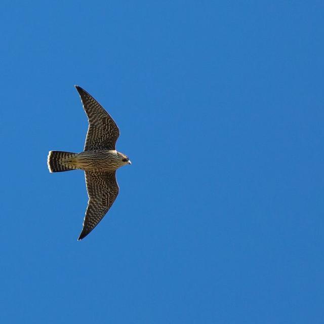 faucon pèlerin © P.Saulay - Parc national des Ecrins