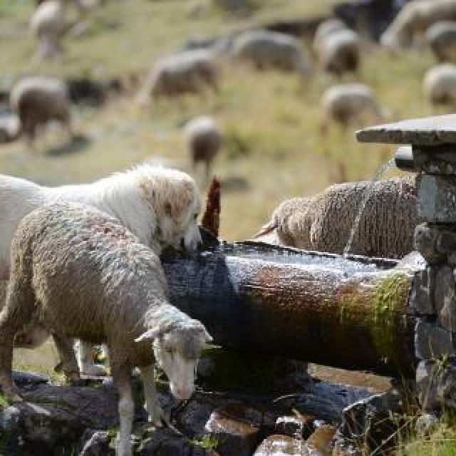 Patou au troupeau - © R.Papet  - Parc national des Écrins
