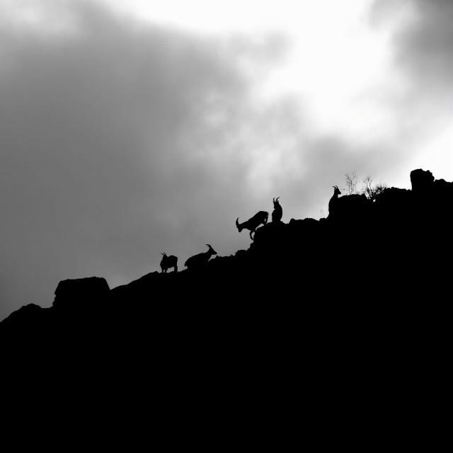 Bouquetins - photo M.Corail - Parc national des Ecrins