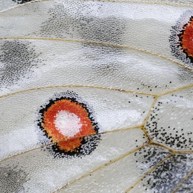 Détail apollon - photo M.Coulon - Parc national des Ecrins