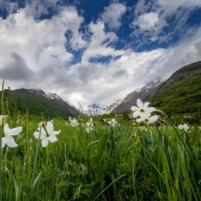 Narcisses du 10 mai - photo T.Maillet - Parc national des Ecrins