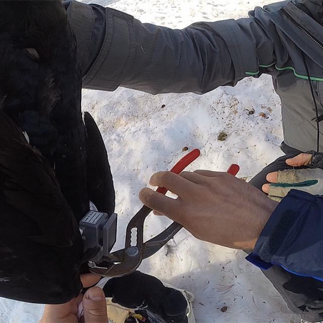 Capture et équipements tétras lyre - mai 2020 - Fournel - photo L.Chaillot - Parc national des Ecrins