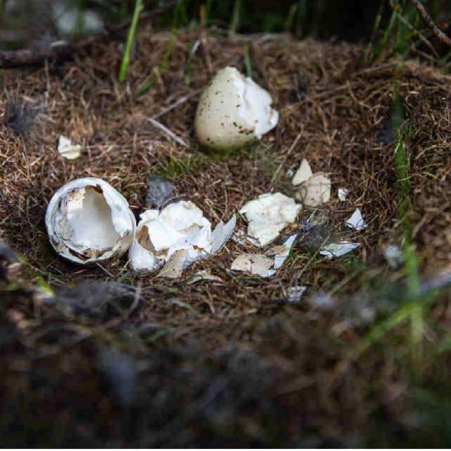 Oeufs, nid Zenette - juin 2020 - apture et équipements tétras lyre - mai 2020 - Fournel - Parc national des Ecrins
