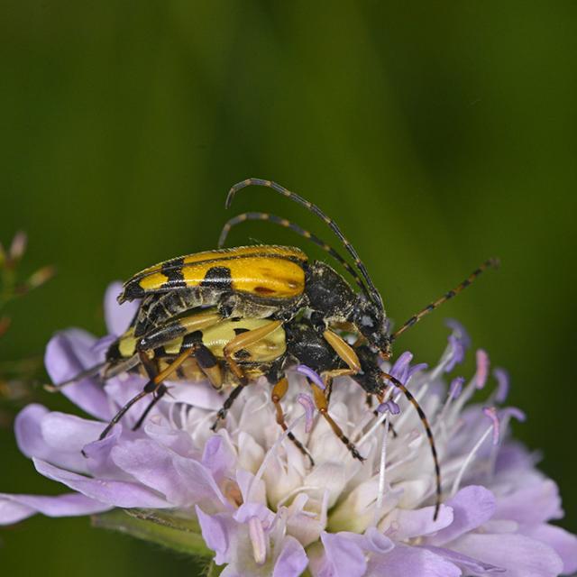 Rutpela maculata - photo Jean Raillot - Grehna