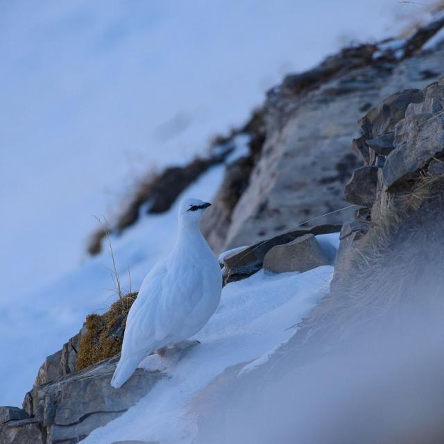 Lagopède alpin en hiver - © M. Coulon - PNE
