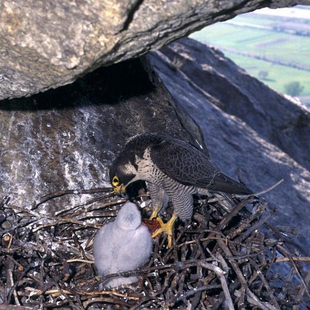 Faucon pèlerin nourrissant son petit - © R. Chevalier - PNE