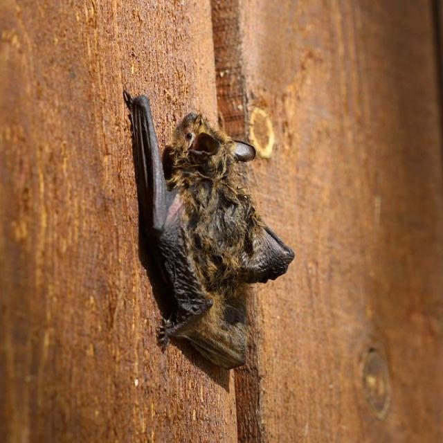 Pipistrelle de Kuhl à Saint-Jean-Saint-Nicolas - © M. Corail - PNE
