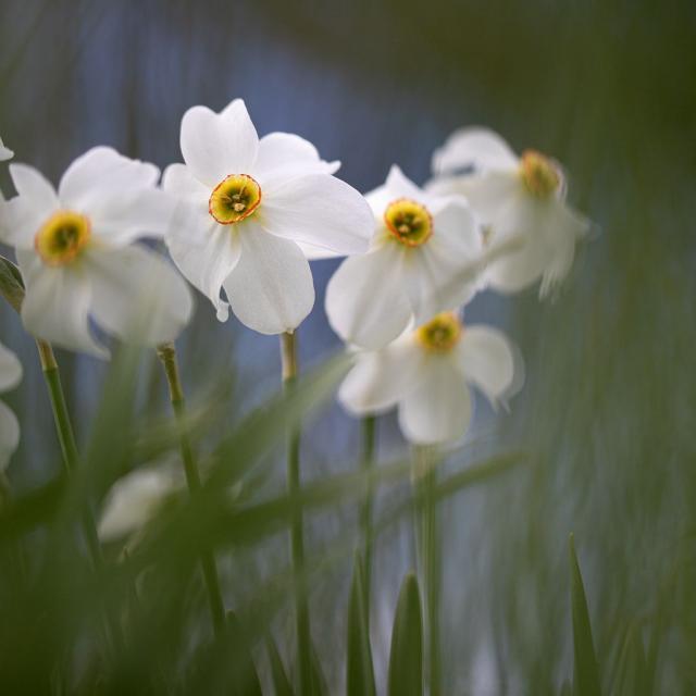 Narcisses - © T. Maillet - PNE