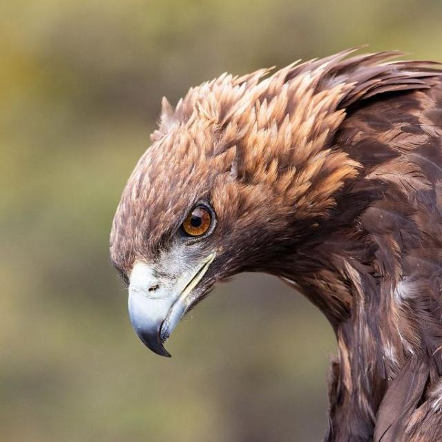 Aigle royal - © T. Maillet - PNE