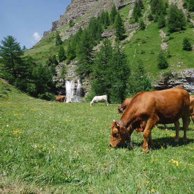 Vaches dans le Rabioux - Châteauroux les Alpes -- © Mireille Coulon - Parc national des Ecrins