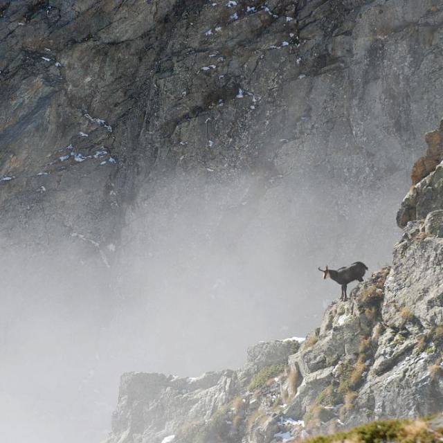 Harde de chamois au Gioberney © Ludovic Imberdis - Parc national des Ecrins