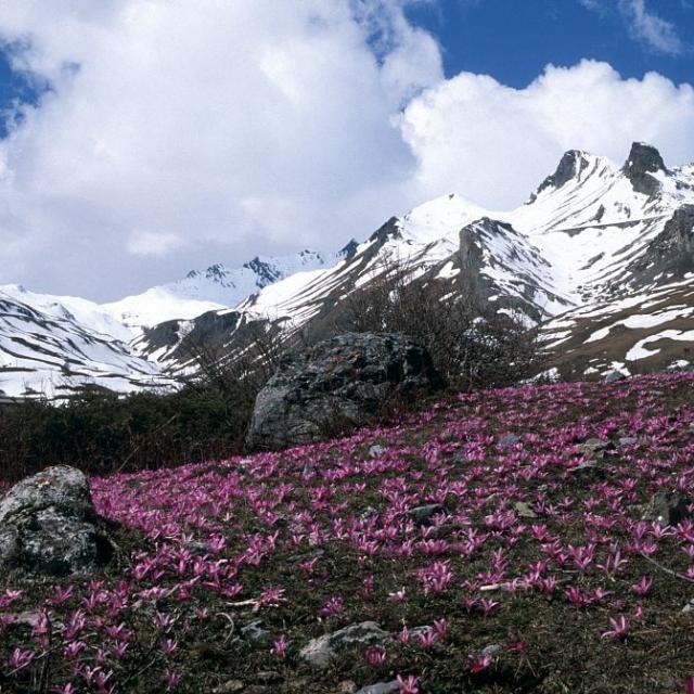 Champ de colchiques de printemps devant le Pic Blanc du Galibier © Bernard Nicollet - Parc national des Ecrins