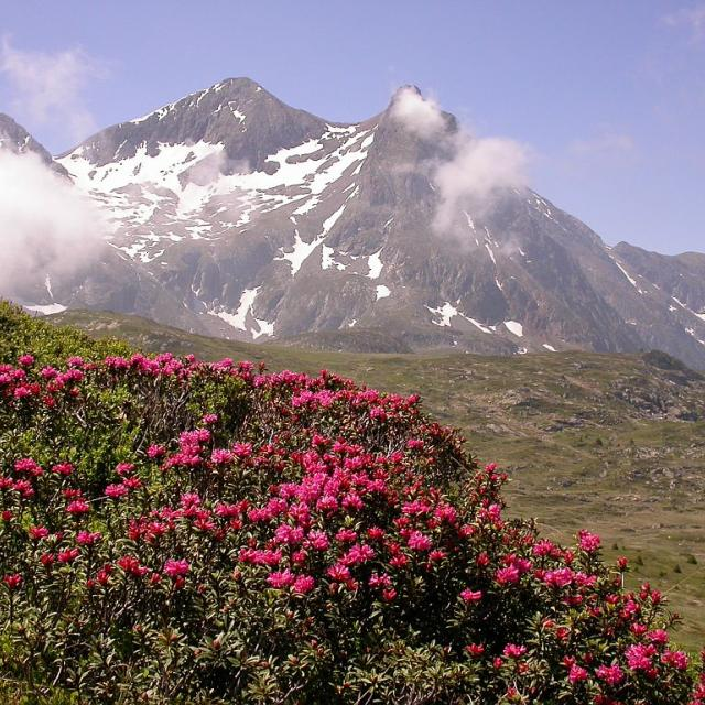 Rhododendrons sur le plateau du Taillefer © Parc national des Ecrins