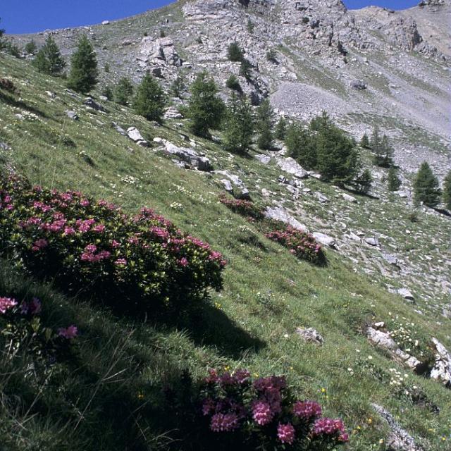Rhododendrons à la Salcette © Marie-Geneviève Nicolas - Parc national des Ecrins