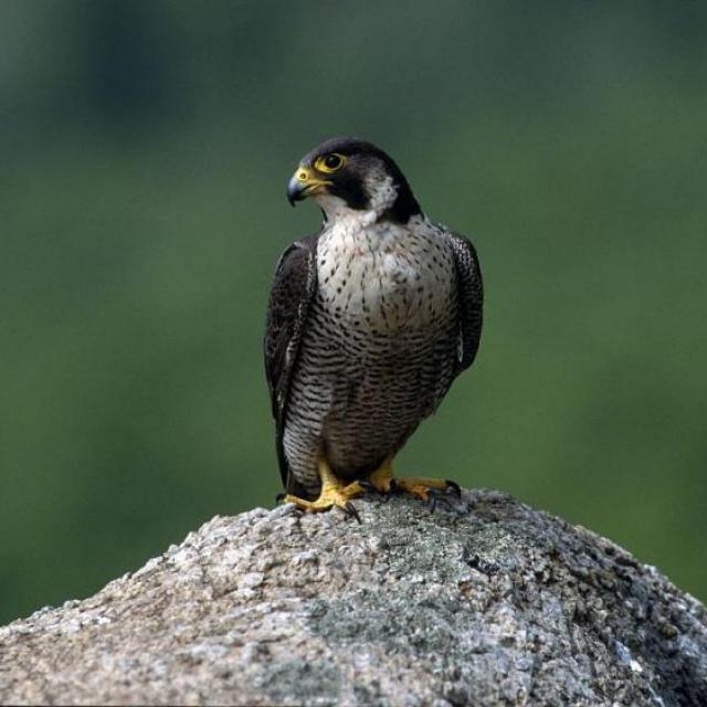 Faucon pèlerin © R.Chevalier -Parc national des Écrins