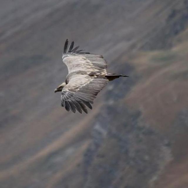 Vautour © Parc national des Écrins