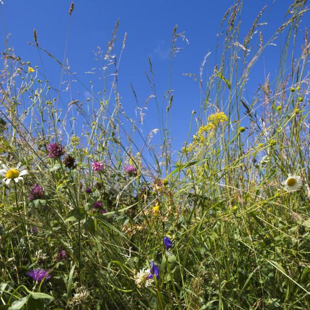 Prairie fleurie -Valgaudemar - © Pascal Saulay -Parc national des Ecrins