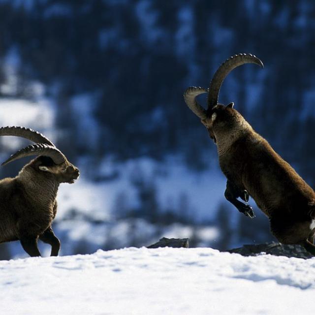 Affrontement de deux bouquetins mâles © R. Chevalier