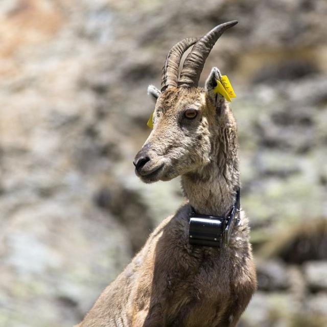 Bouquetin marqué. Collier GPS © P. Saulay - Parc national des Ecrins