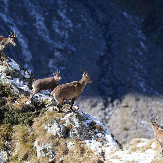 Harde de femelles et jeunes © R. Papet - Parc national des Ecrins