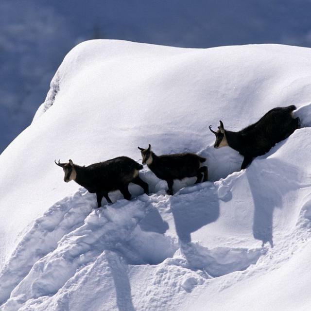 Chamois en hiver © R. Chevalier - Parc national des Ecrins