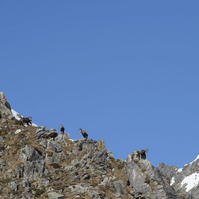 Harde de chamois © R. Papet - Parc national des Ecrins